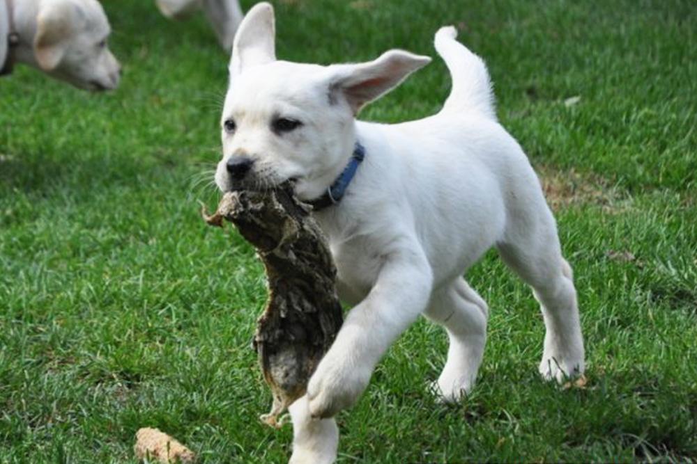 barfberatung-ruhhammer-futterplan-welpen-junghunde